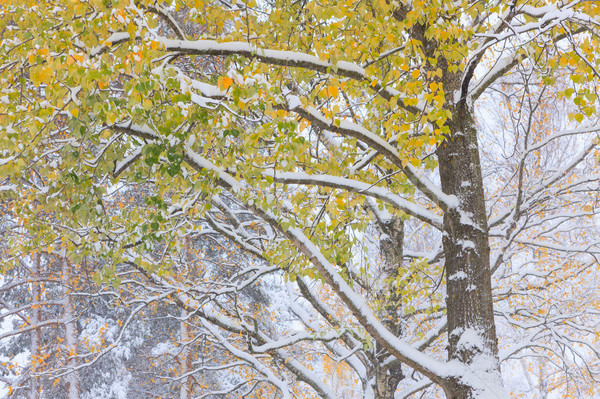First snow and autumn leaves Stock photo © Juhku