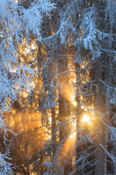 太陽 日光 冷ややかな 木 冬 森林 ストックフォト © Juhku
