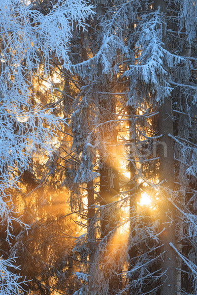 Zon stralen ijzig bomen winter bos Stockfoto © Juhku