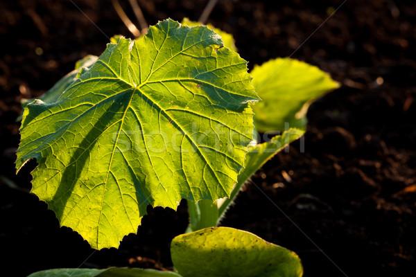 ビッグ 葉 静脈 クローズアップ 春 ストックフォト © Juhku