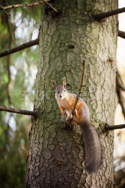 Rouge écureuil arbre cute sauvage forêt Photo stock © Juhku