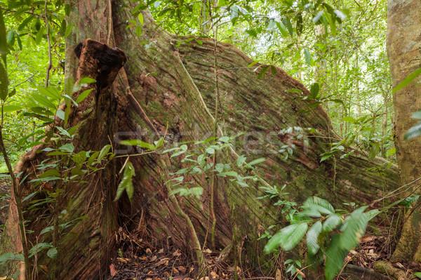 Ağaç kökleri Rainforest borneo Malezya orman Stok fotoğraf © Juhku