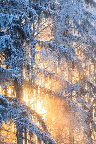 Nap sugarak fagyos fák tél erdő Stock fotó © Juhku