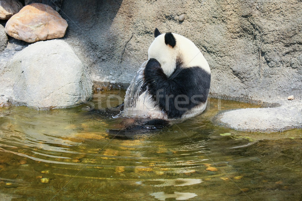 Stock photo: Giant panda sitting in water
