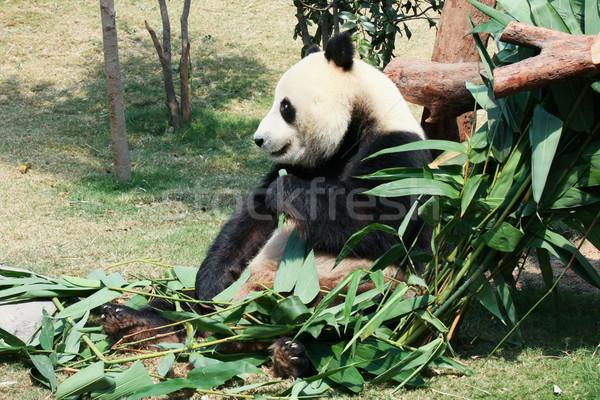Panda eten bamboe reus beer tropische Stockfoto © Juhku