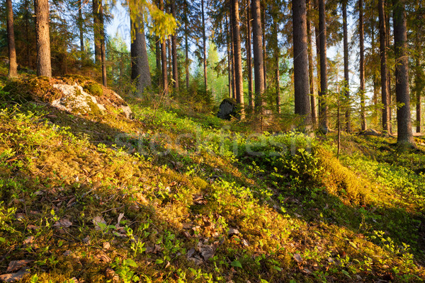 Finnish forest at sunset light Stock photo © Juhku