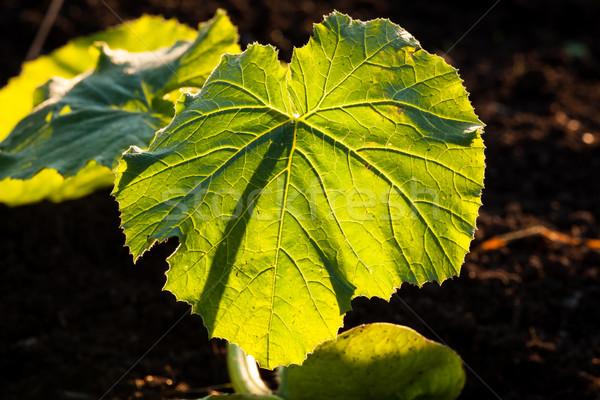 Verlicht groot blad aderen voorjaar Stockfoto © Juhku