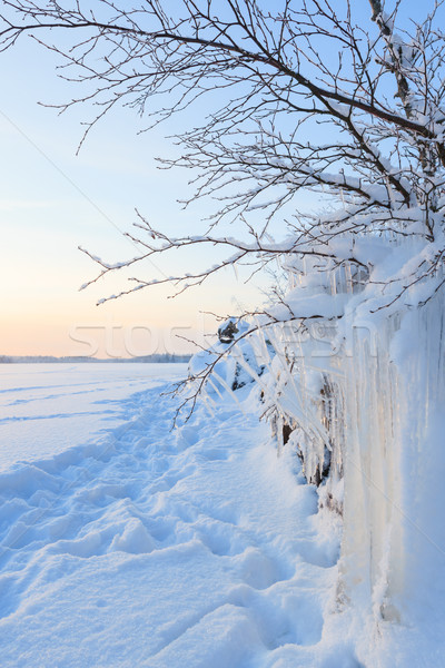Beautiful icicle ice formation on small tree Stock photo © Juhku