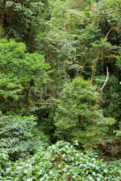 Tree foliage in rainforest Stock photo © Juhku