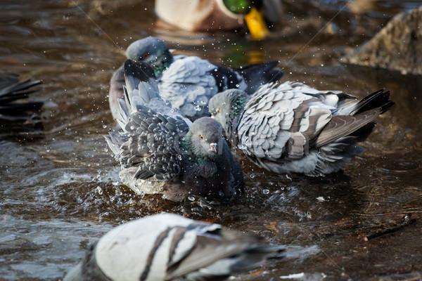 Pigeons birds bathing Stock photo © Juhku