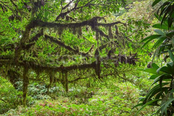 Mossy branch in rainforest Stock photo © Juhku