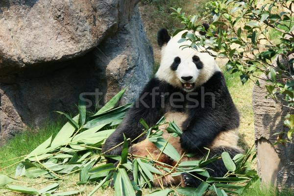 Panda eten bamboe reus boom blad Stockfoto © Juhku