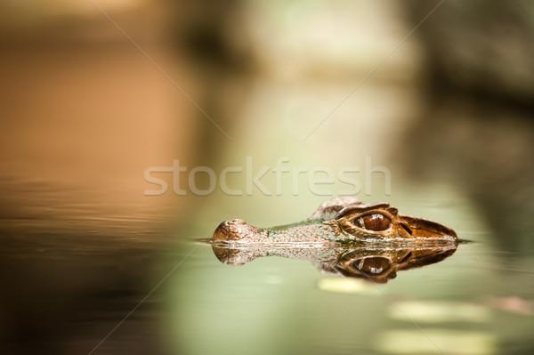 Caiman hiding underwater Stock photo © Juhku