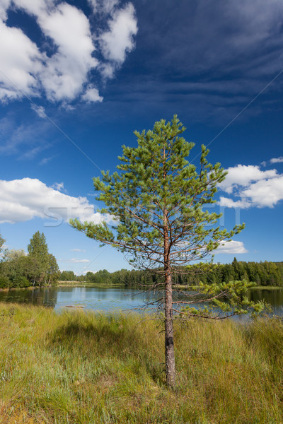 Klein pijnboom meer Finland zomer water Stockfoto © Juhku