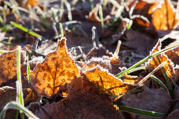 Frost birch leaves on ground Stock photo © Juhku