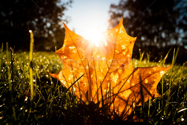 Maple leaf on grass illumited by sunrise light Stock photo © Juhku