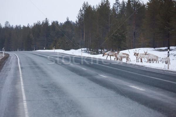 Rénszarvas sereg út út tél természet Stock fotó © Juhku