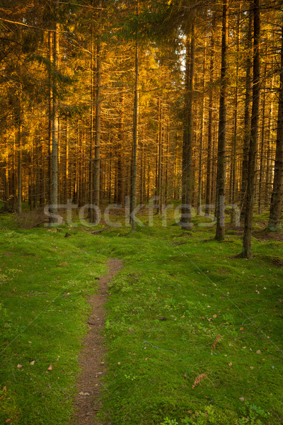 Spruce forest and path golden sunset light Stock photo © Juhku
