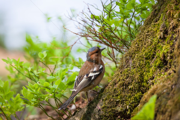 Klein vogel bos wild natuur groene Stockfoto © Juhku