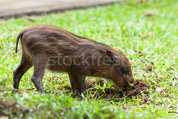 Baby wild boar digging grass Stock photo © Juhku