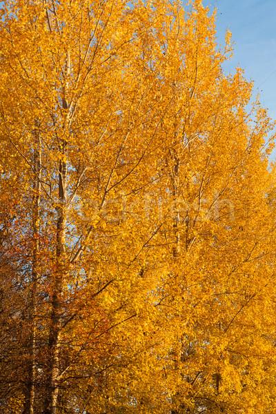 Stok fotoğraf: Ağaçlar · sonbahar · renkler · yeşillik · sarı · gün · batımı