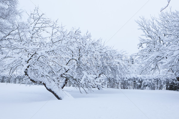 Garden and apple trees covered in snow Stock photo © Juhku