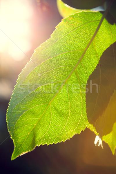Backlit leaft in a tree Stock photo © Juhku