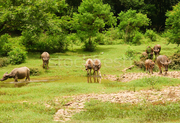 Herd of cows in china countryside Stock photo © Juhku