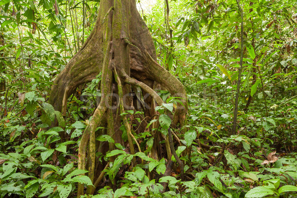 Big tree deep in rainforest borneo Stock photo © Juhku