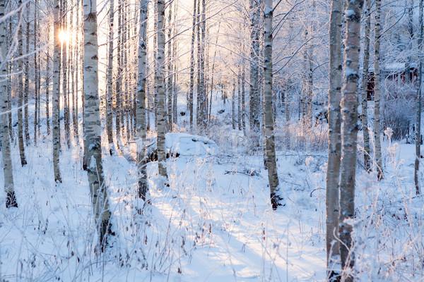 Stok fotoğraf: Huş · ağacı · orman · güneş · ışık · kış · sıcak