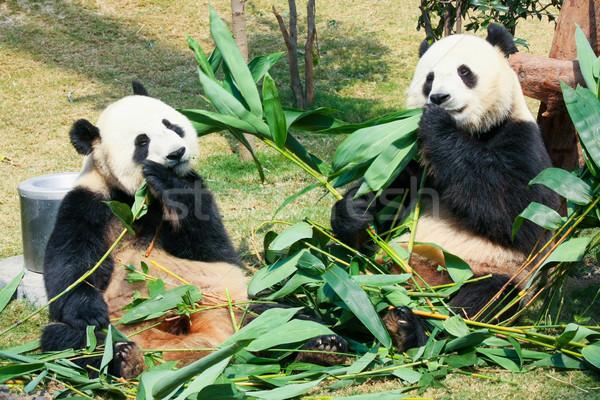 Kettő eszik bambusz óriás fa természet Stock fotó © Juhku