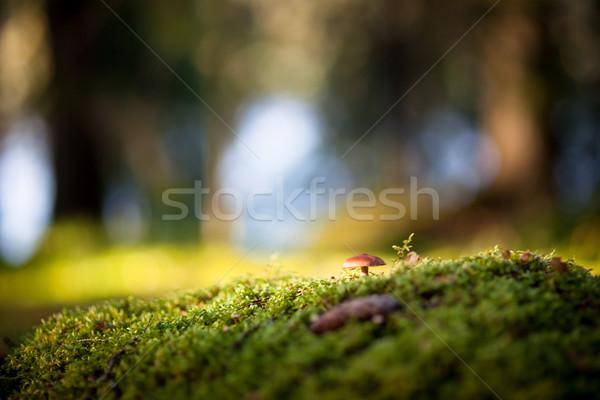 Színes kilátás gomba moha erdő háttér Stock fotó © Juhku