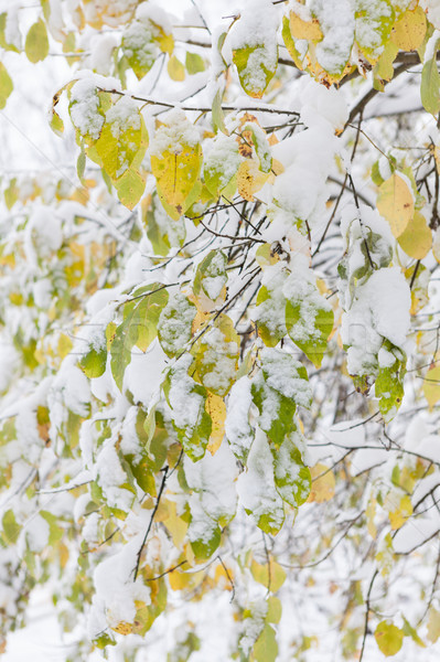 Autumn leaves covered in snow Stock photo © Juhku