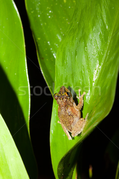 Small frog at big leaf in rainforest Stock photo © Juhku