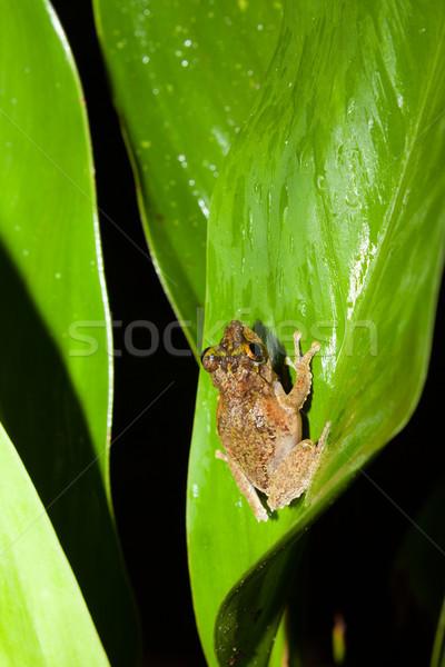 Küçük kurbağa büyük yaprak Rainforest borneo Stok fotoğraf © Juhku