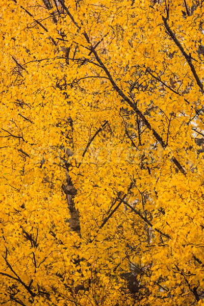 Yellow birch foliage at autumn Stock photo © Juhku