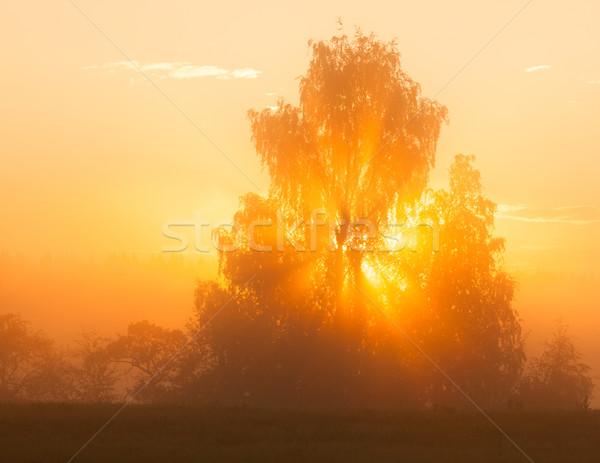 Sunbeams through tree in morning fog Stock photo © Juhku