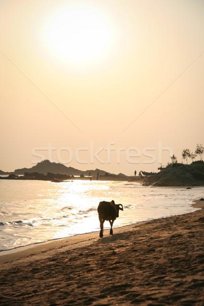 ストックフォト: 牛 · 徒歩 · ビーチ · 日没 · インド · 自然