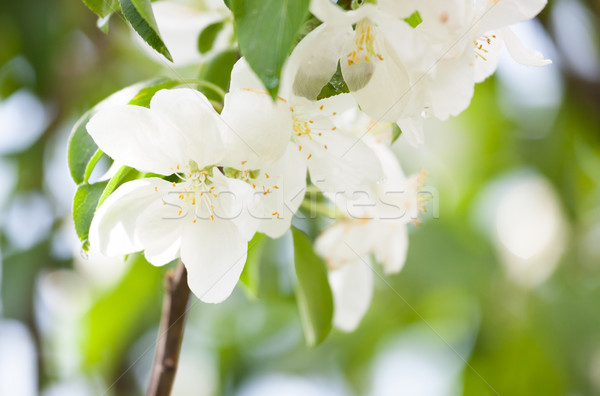 Beautiful apple tree flowers Stock photo © Juhku