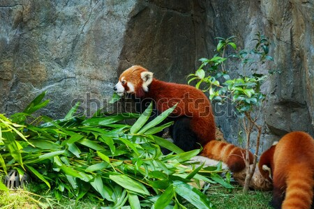 Stock fotó: Aranyos · piros · panda · eszik · bambusz · levelek