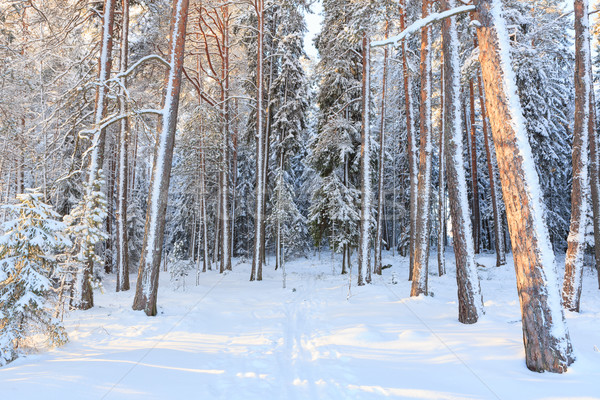 Foto stock: Floresta · nevasca · árvores · neve · fundo · inverno
