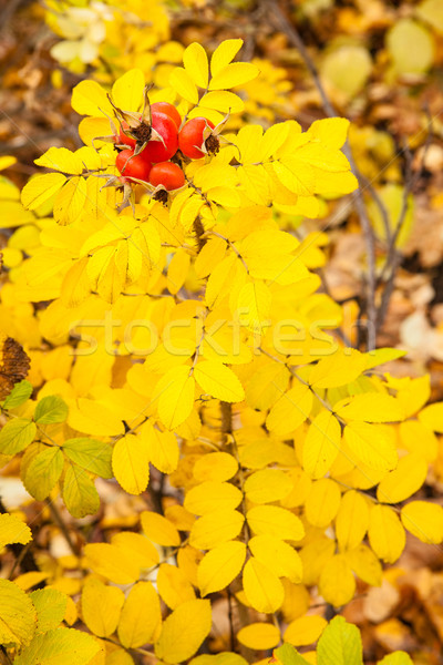 Yellow autumn rose and red rosehip Stock photo © Juhku