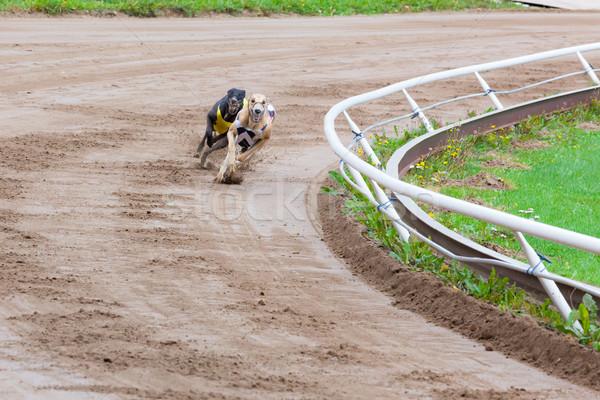 Stok fotoğraf: Tazı · köpekler · yarış · kum · izlemek · köpek
