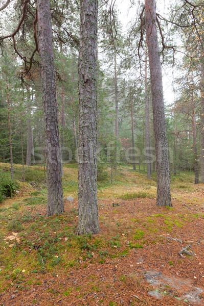 Floresta nebuloso dia cena Finlândia luz Foto stock © Juhku