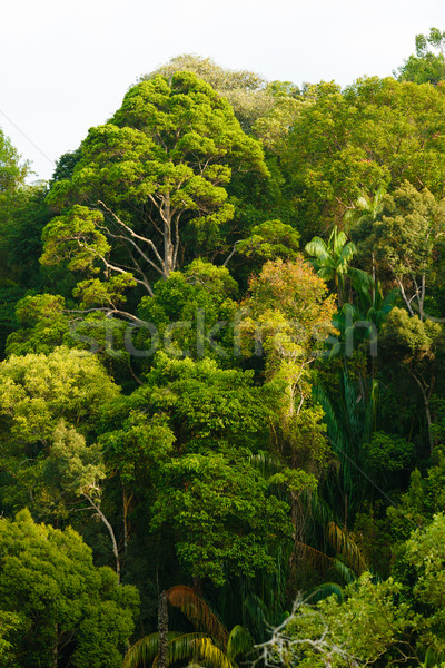 Rainforest canopy Stock photo © Juhku