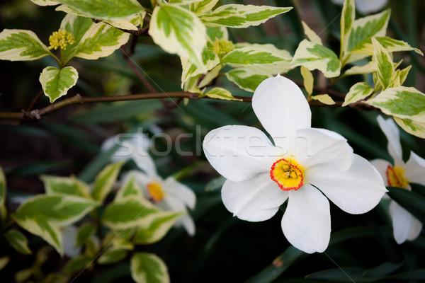 Witte bloem bush buitenshuis zomer bladeren plant Stockfoto © Juhku