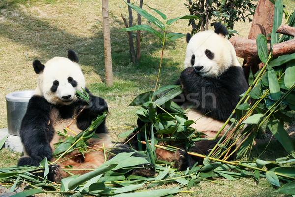 Twee eten bamboe reus familie natuur Stockfoto © Juhku