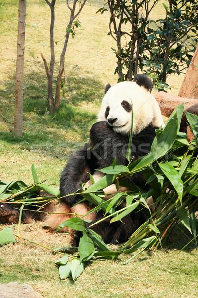 Panda eten bamboe reus bladeren zwarte Stockfoto © Juhku