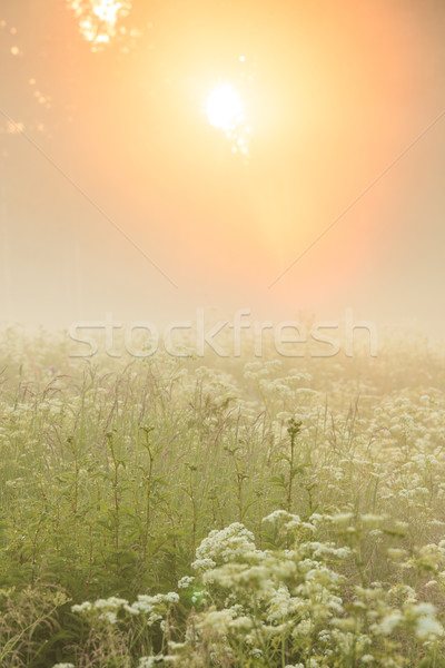 Golden light shine through forest in to foggy meadow Stock photo © Juhku
