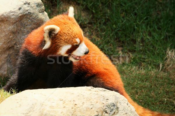 赤 パンダ 徒歩 動物園 顔 岩 ストックフォト © Juhku